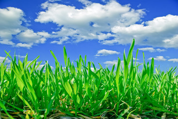 Young shoots of grain on the background of the blue sky