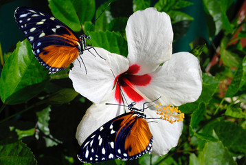 Hibiscus flower with 2 Heliconius hecate butterflies