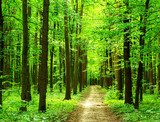 Fototapeta  forest