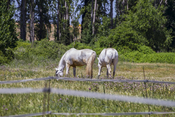 group of horses grazing in a green pasture, spanish horses