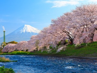 Fuji with Cherry Blossoms at the river