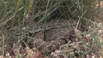 Bull Snake Coiled in Grass