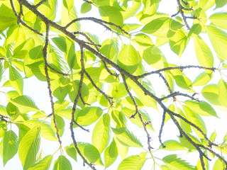 young leaves are shining in the sunlight
