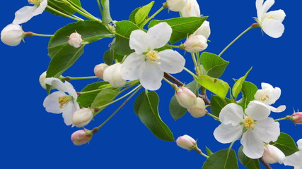 Flowers of an apple-tree blossom on a blue background
