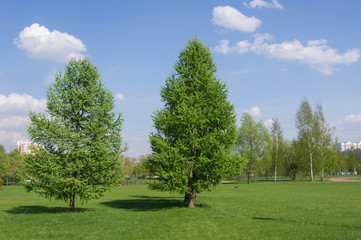 Two fir-trees in city park in a sunny day