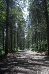 初夏のドイツトウヒの森