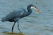 A Western Reef Heron (Egretta gularis) holding up his catch
