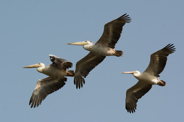 Three Pink-backed Pelicans (Pelecanus rufescens) in flight