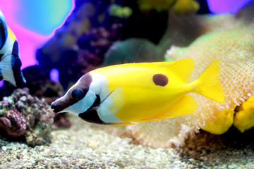 Tropical colorful yellow fish swimming in aquarium with plants
