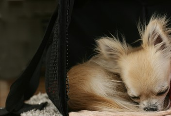 Longhair chihuahua curled up in a ball