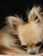 Longhair chihuahua dog curled up in a ball