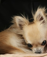 Longhair chihuahua dog curled up in a ball, sleeping