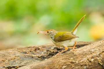 Common Tailorbird  with worm in her mount