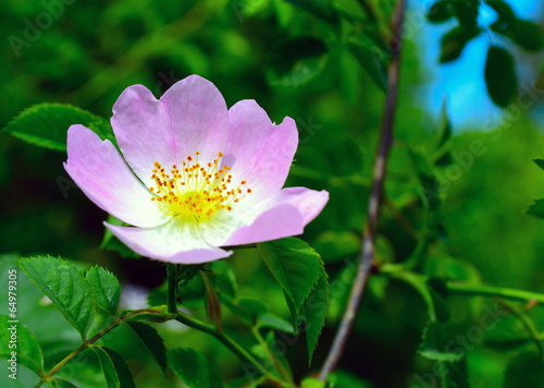 большой цветок дикого шиповника