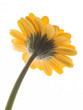 Lovely yellow gerbera daisy flower