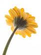 Lovely yellow gerbera daisy flower