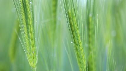 Grünes Korn