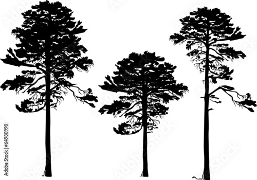 three pine silhouettes isolated on white - 64980990