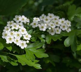 Flowering hawthorn in springtime