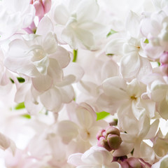 White lilac close-up