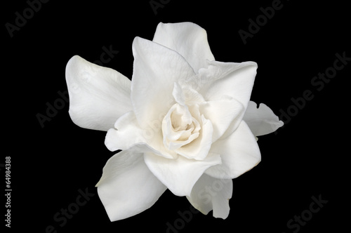 White Gardenia isolated on black © nattul