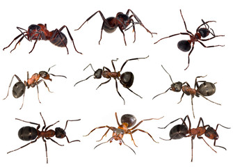 nine forest ants isolated on white