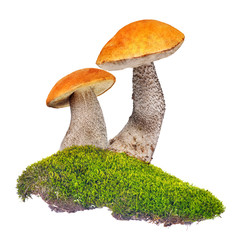 two orange-cap boletus in green moss isolated on white