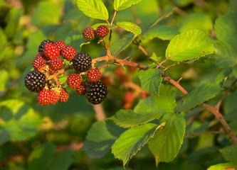 more di rovo (Rubus ulmifolius)