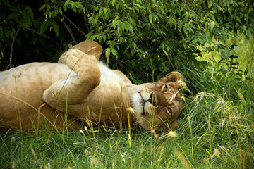 Sleeping lioness in the bushes w Amboseli