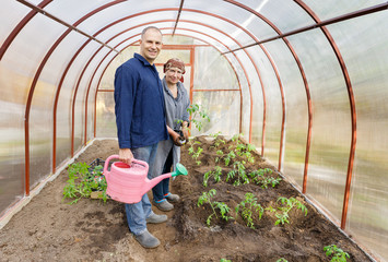 greenhouse cultivation of tomatoes