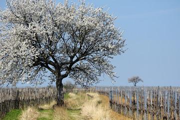 Blühende Kirschbäume im Weingarten