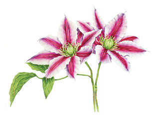 Clematis watercolor