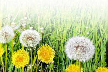 dandelion seeds on a green background