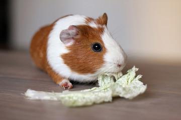 Guinea pig eats