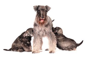 Zwergschnauzer Familie säugende Mutter mit Kindern