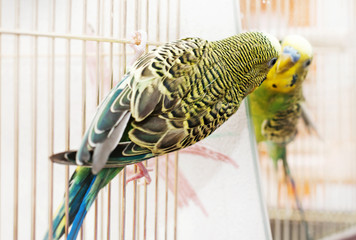 Budgerigar looks in the mirror