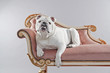 White english bulldog lying on vintage sofa. Studio shot against - 64992717