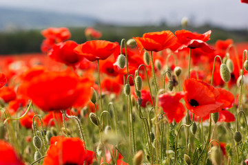 Nice field of red poppy flowers