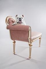 White english bulldog sitting on vintage sofa. Studio shot again