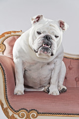 White english bulldog sitting on vintage sofa. Studio shot again