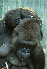 sleeping baby gorilla 8044