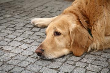 Golden retriever dog looking very sad lying on street
