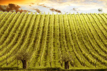 vineyard in the sunset with glass of wine