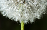 Past bloom dandelion detail - 64995910
