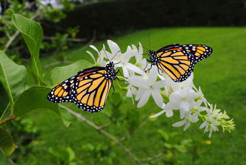 Monarch butterflies Latin name Danaus plexippus