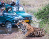 Bengal tiger getting photographed by people in a jeep