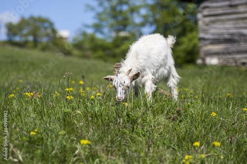 Foto op Plexiglas Draken goat