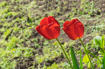 Two red tulips under spring sun