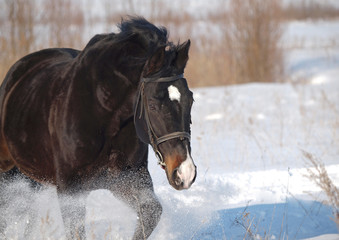 Portrait of beautiful stallion  in a winter day