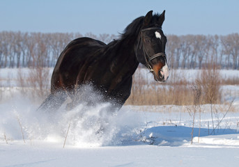 A powerful beautiful darkly-bay stallion  gallops on deep snow